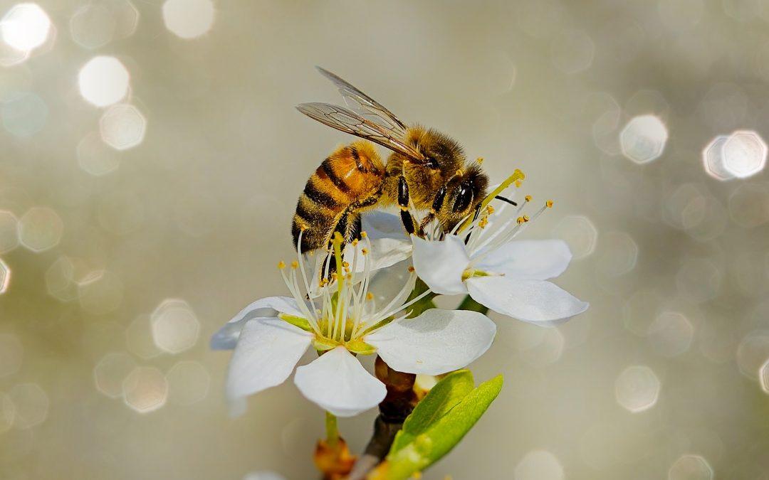Des abeilles à Compertrix